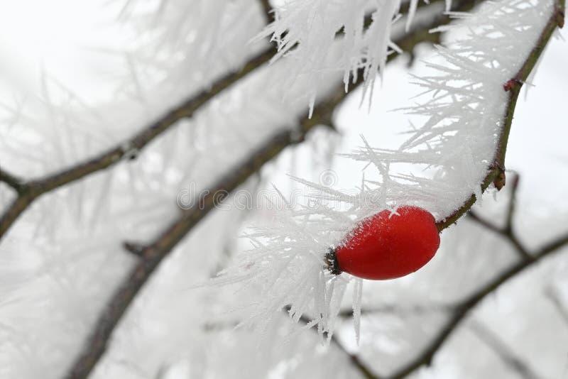 有长的冻冰针的玫瑰果枝杈从树冰在冬天,拷贝空间 图库摄影
