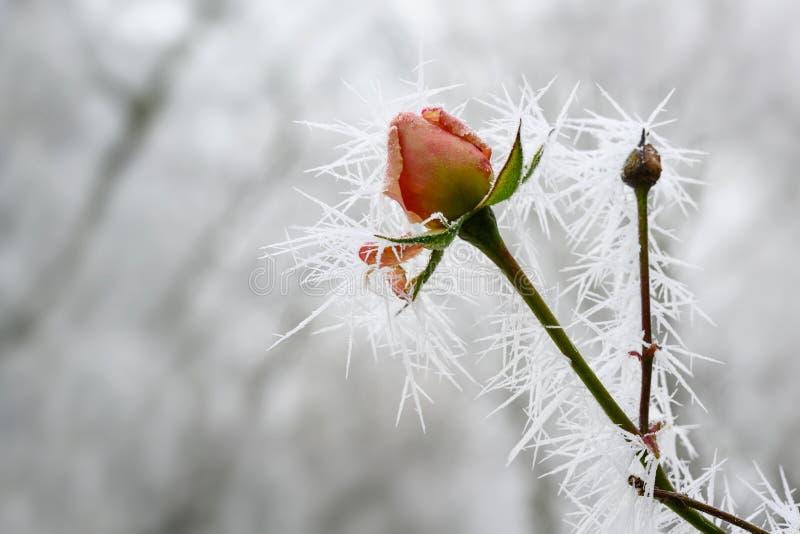 有长的冻冰针的罗斯芽从冬天树冰在冬天,贺卡为与拷贝空间的情人节 库存图片