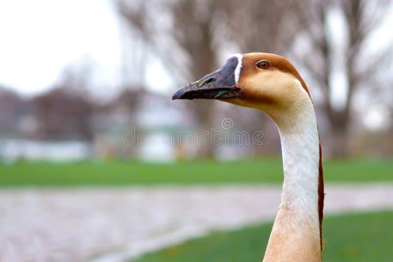 有长的脖子的入侵的分析服务公司cygnoides天鹅鹅头在模糊的背景前面 免版税库存图片