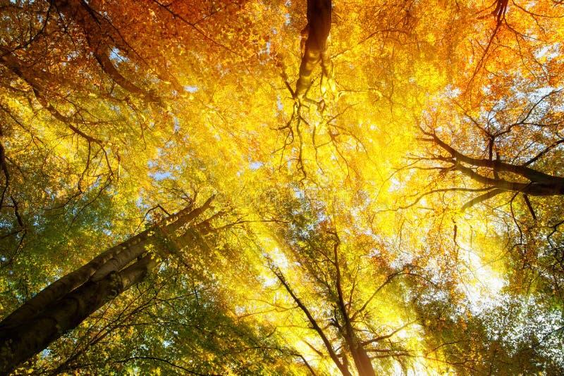 有阳光的五颜六色的树木天棚在秋天 图库摄影
