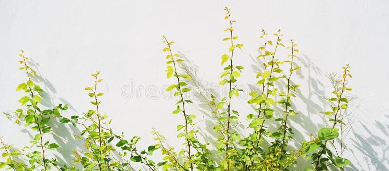 有阴影的植物在白色墙壁上 库存照片