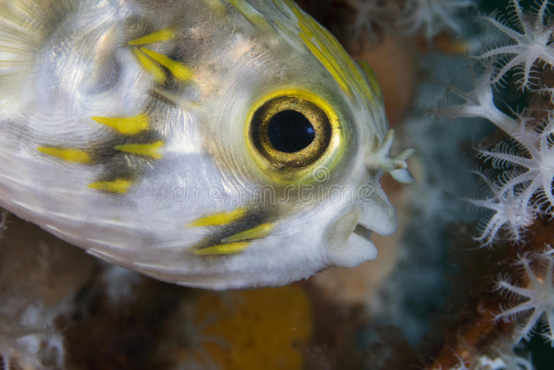 有雀斑的刺顿鱼(少年) 库存图片