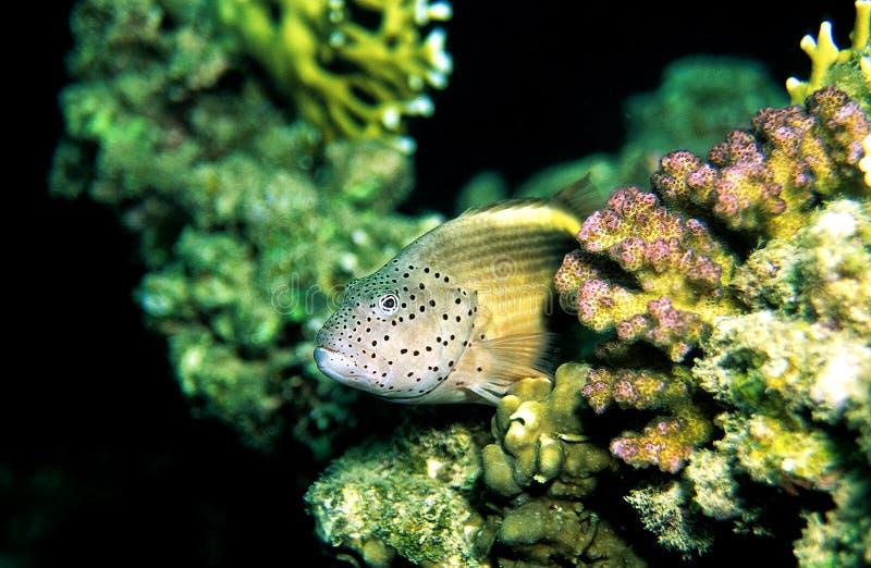 有雀斑的hawkfish 免版税库存照片