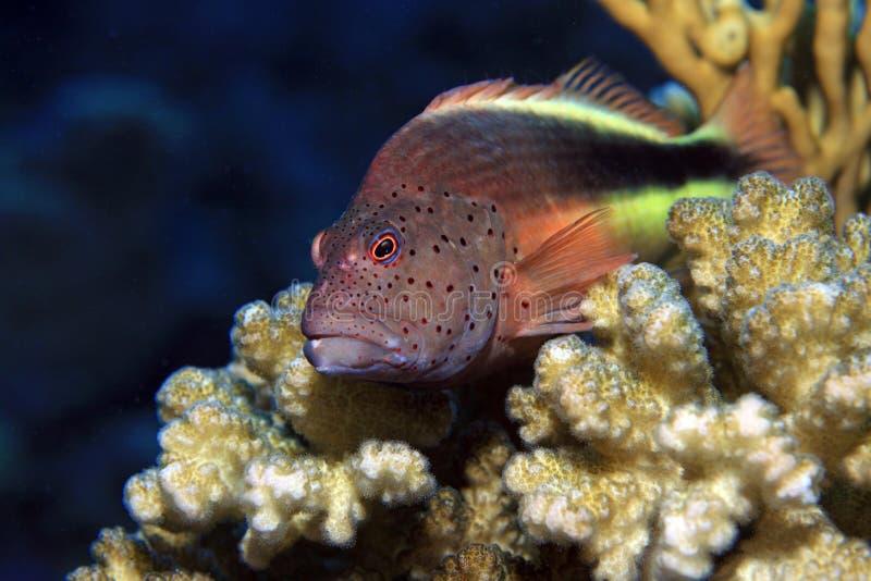 有雀斑的hawkfish 库存图片