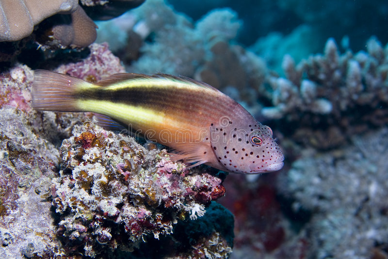 有雀斑的hawkfish 免版税库存图片