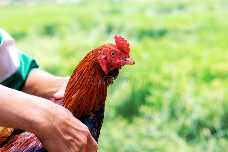 有雄斗鸡的手在农场 图库摄影