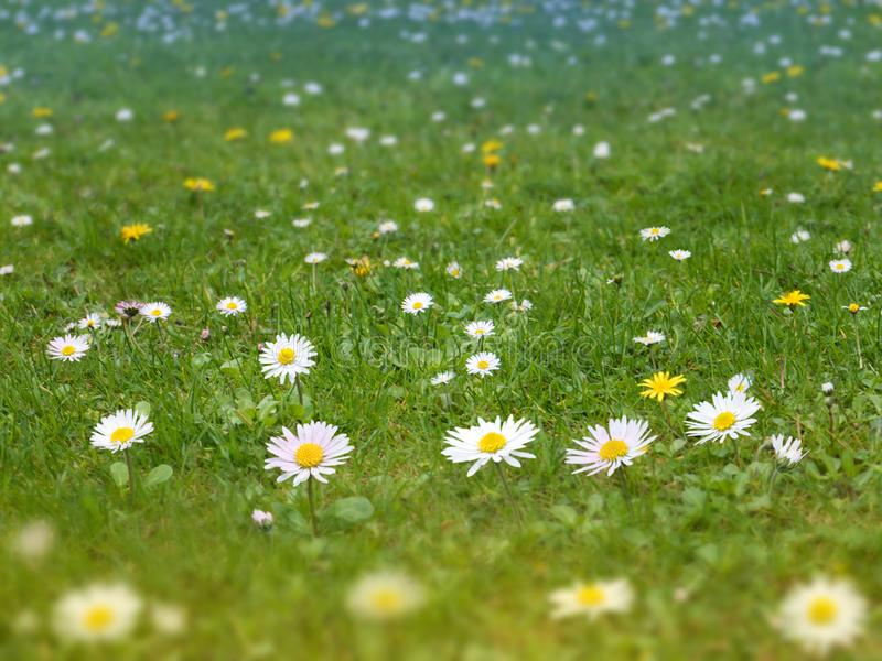 有雏菊和蒲公英的绿草草坪开花春天backgro 库存照片