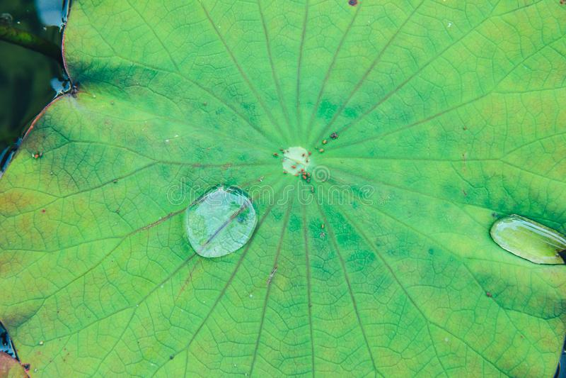有雨水下落的莲花叶子 库存图片