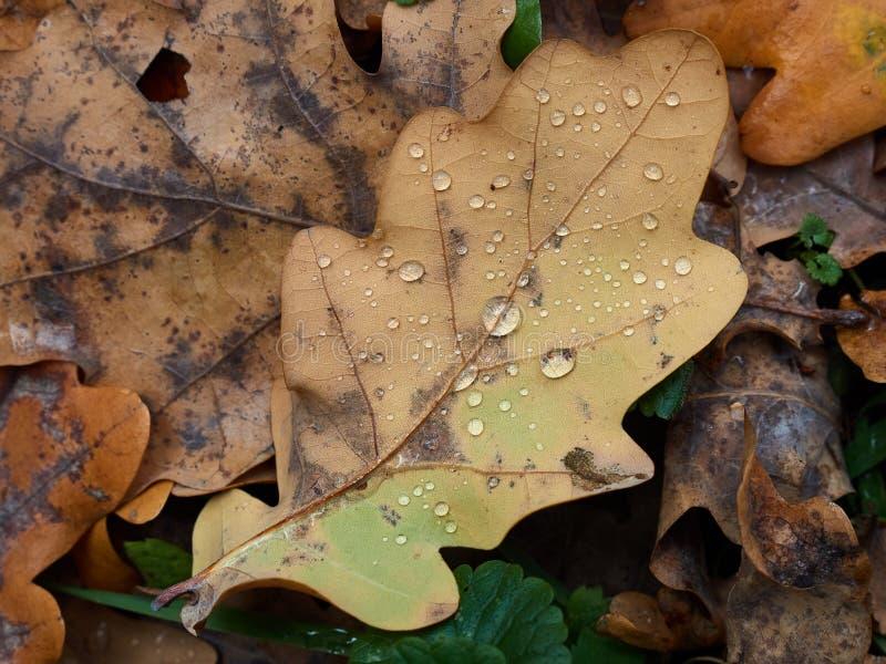 有雨珠的下落的秋天橡木叶子 免版税库存图片