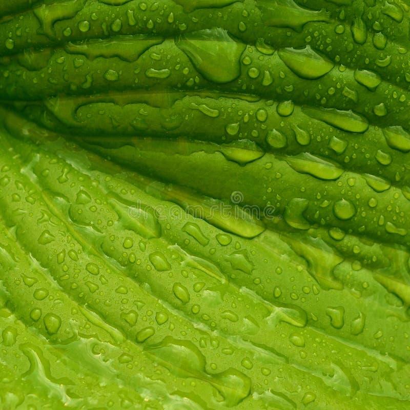 有雨珠的叶子 湿叶子特写镜头 免版税库存图片