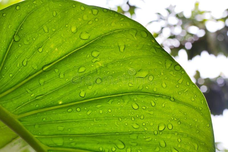 有雨珠的大绿色常春藤海芋属植物叶子 库存照片