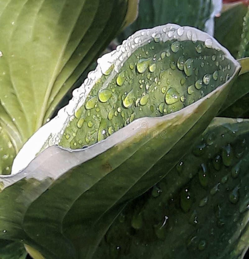 有雨珠的玉簪属植物叶子在Sunsh 库存照片
