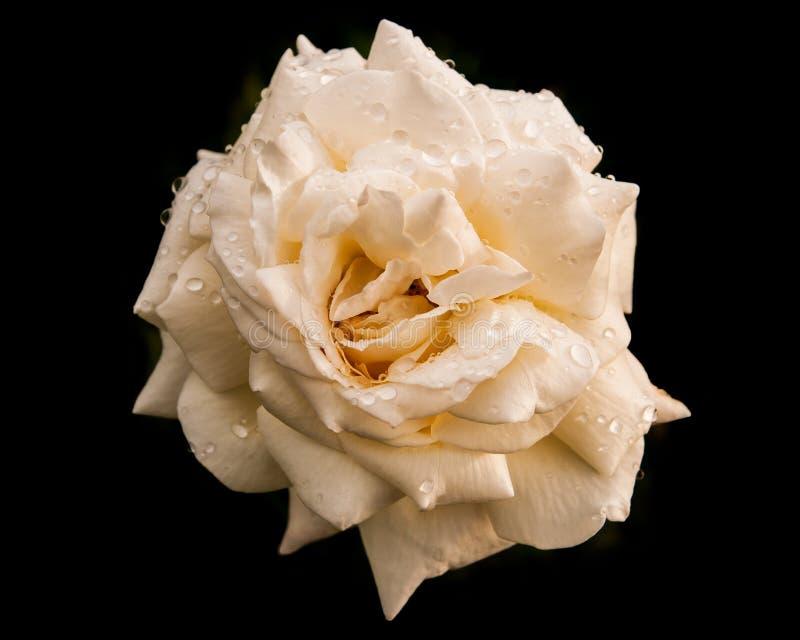 有雨珠的白玫瑰在黑背景 免版税图库摄影