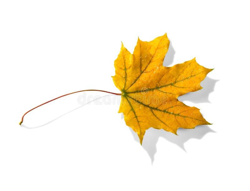 有雨珠的黄色秋天叶子,隔绝在白色 免版税库存图片