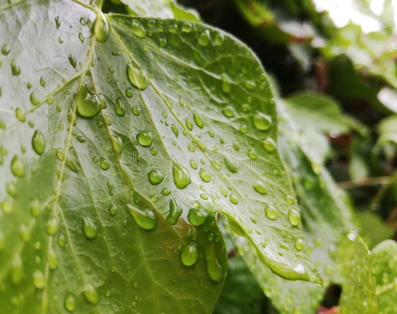 有雨珠的绿色常春藤叶子在庭院里 库存照片