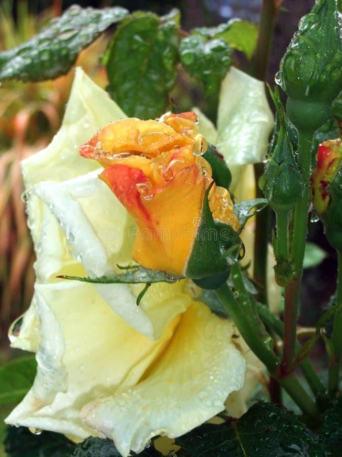 有雨的黄色罗斯 免版税库存照片