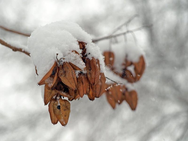 有雪的叶子 库存图片
