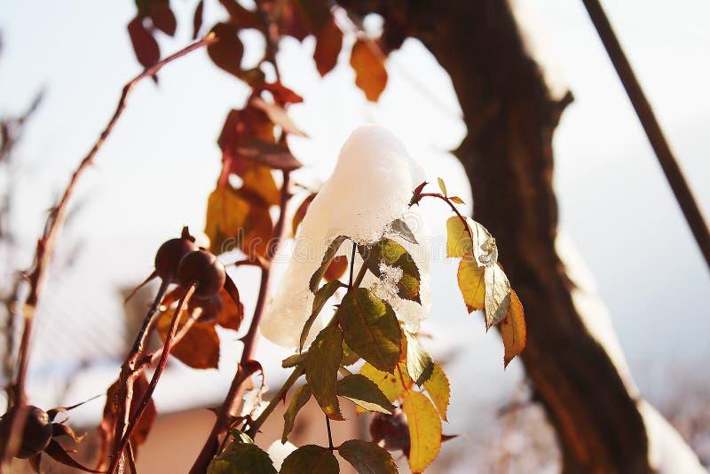 有雪的干燥玫瑰色芽 免版税库存照片