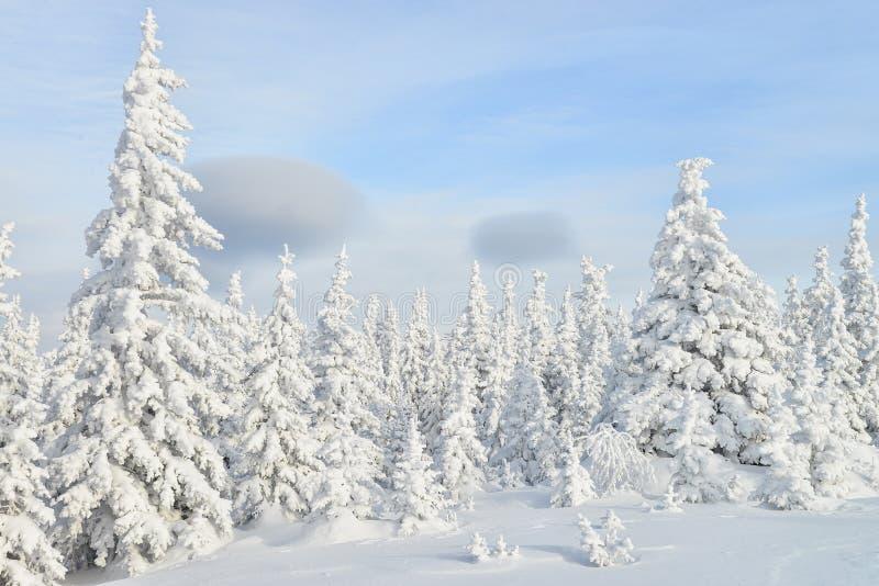有雪盖的杉树的美丽的冬天森林 图库摄影