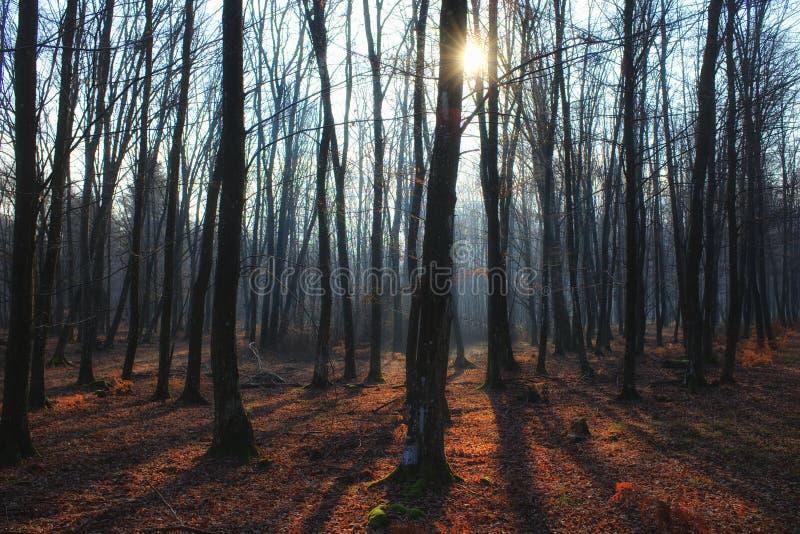 有雾、长的阴影和光束的神秘的光秃的森林 库存照片