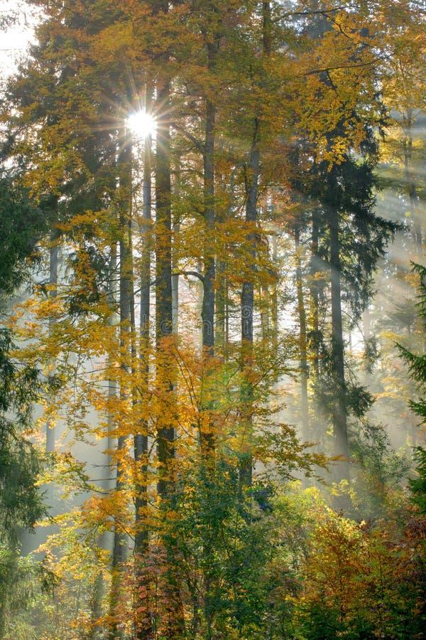 有雾的早晨在秋天森林里 库存图片