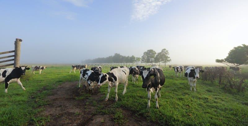 有雾的早晨Brundee牛奶店牧场地 免版税图库摄影