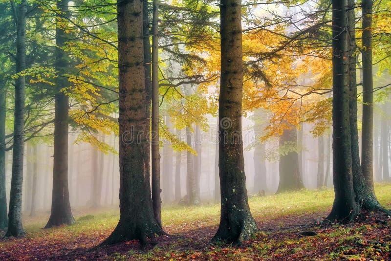 有雾的森林 图库摄影