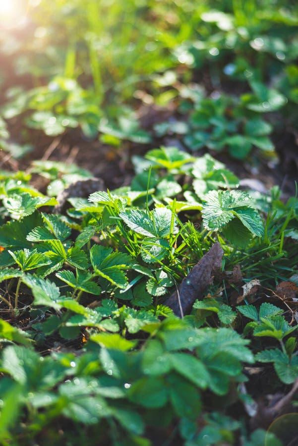 有露水下落的新鲜的绿色黑莓叶子在森林沼地 库存照片