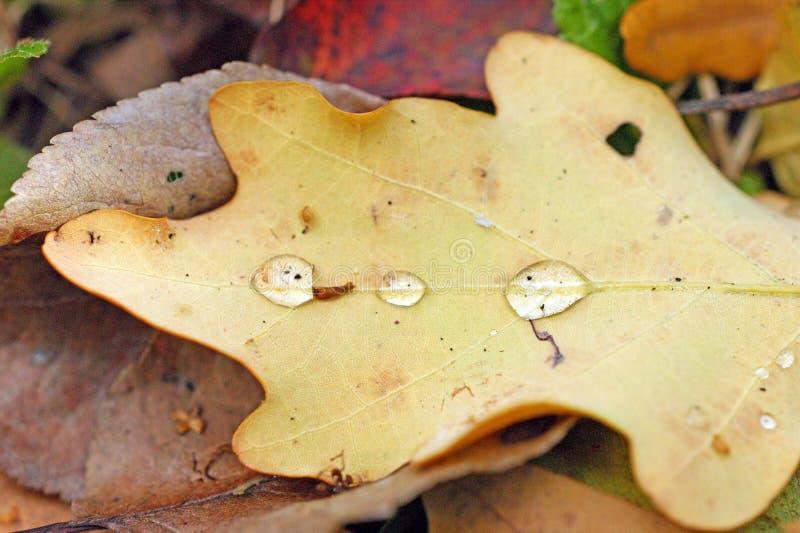 有露水或雨水滴的下落的干燥秋天橡木叶子  库存照片