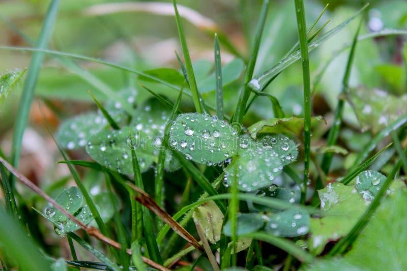 有露水的在清早,提洛尔精密叶子 库存图片
