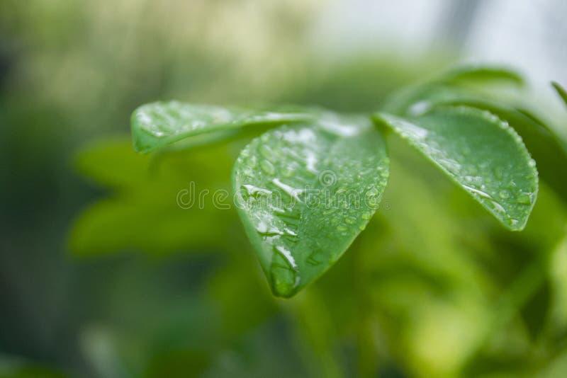 有露滴的新鲜的绿色叶子 库存照片
