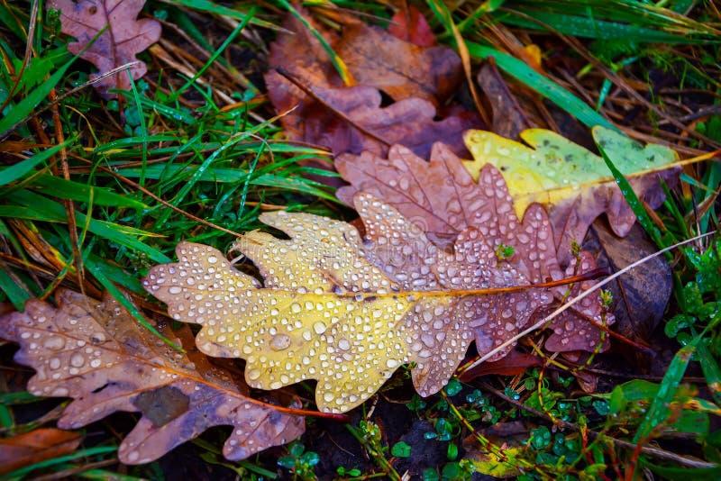 有露滴的橡木叶子在草 库存照片