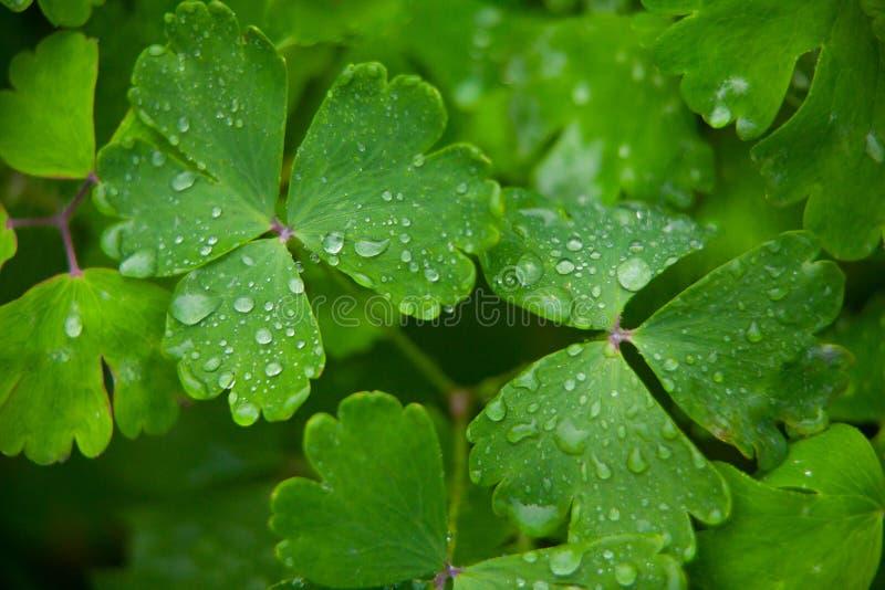 有露水的Aquilegia美丽的大叶子在绿色背景 免版税库存照片