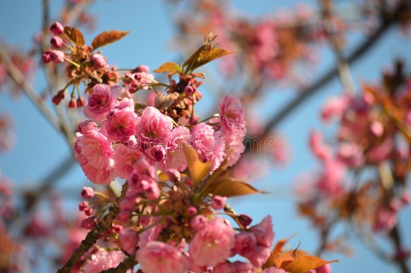 有青斑天空的樱花 免版税库存照片