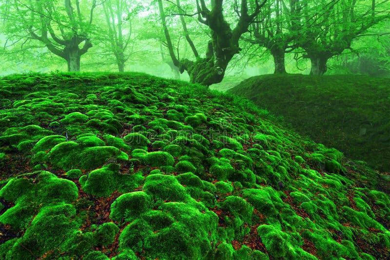 有青苔泡影的不可思议的森林 库存照片