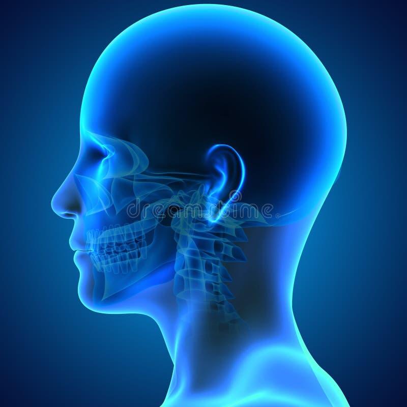 有面孔的头骨 向量例证