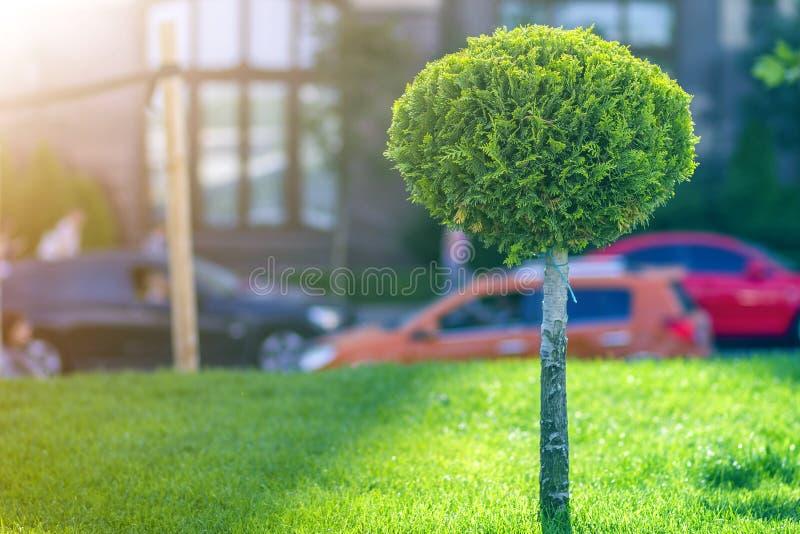 有鞭子回合的年轻装饰松树整洁地整理了叶子,生长在沿城市街道的绿草的园林植物  免版税库存图片