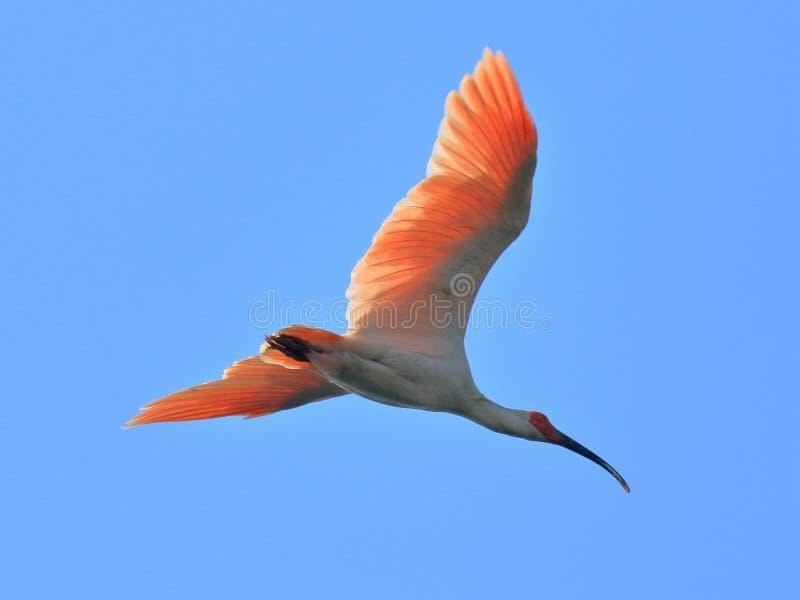 有顶饰朱鹭,在蓝天自由地飞行, 库存图片