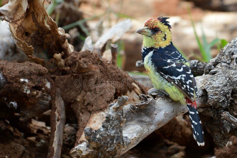 Download 有顶饰热带巨嘴鸟{Trachyphonus Vaillantii} 库存图片 - 图片 包括有 双翼飞机, 闹事: 62530389