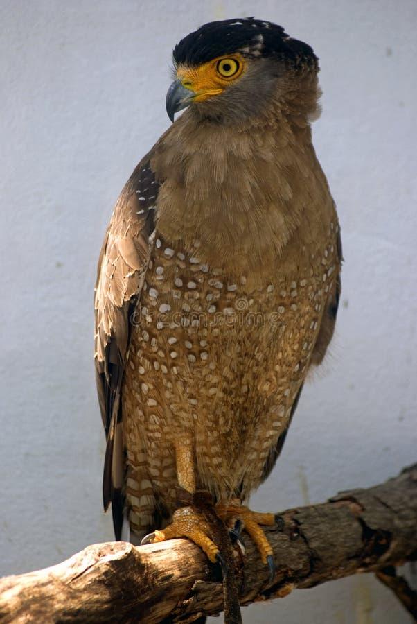 有顶饰蛇老鹰,巴特沃思,马来西亚 免版税库存照片