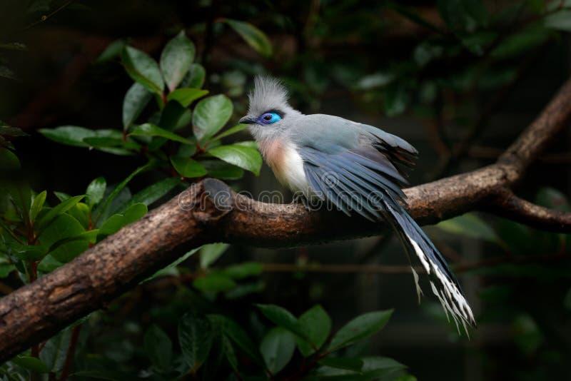 有顶饰Couna, Coua cristata,罕见的灰色和蓝色鸟与冠,在自然栖所 Couca坐分支,马达加斯加 双翼飞机 库存照片
