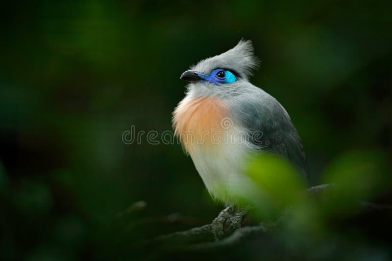 有顶饰Couna, Coua cristata,罕见的灰色和蓝色鸟与冠,在自然栖所 Couca坐分支, Madagacar Birdw 免版税库存图片
