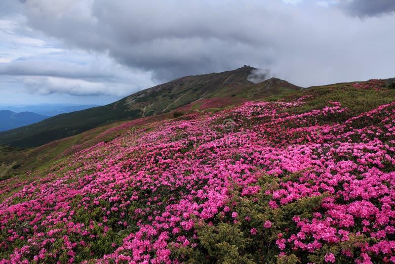 有高山小核的伊冯一个被放弃的观测所,桃红色杜鹃花增长在有岩石的草坪 免版税图库摄影