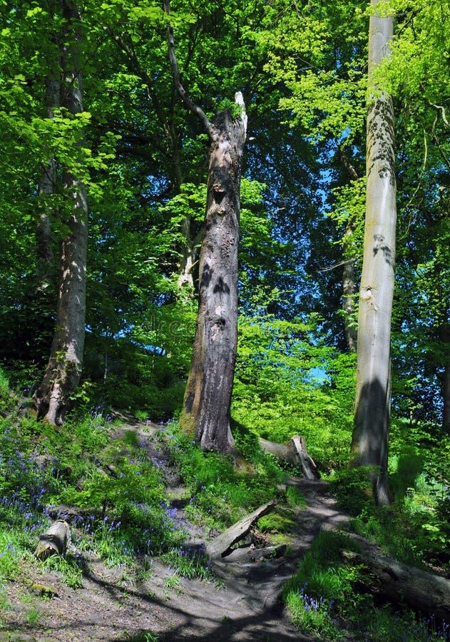 有高山毛榉树的明亮的被日光照射了春天森林地在与充满活力的绿色新的叶子的小山与会开蓝色钟形花的草和阴影 库存照片