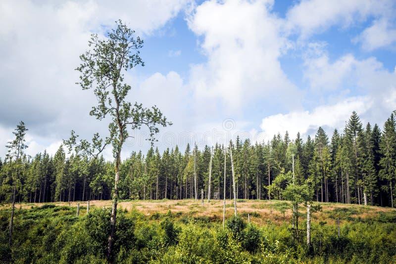 有高松树的原野 库存照片