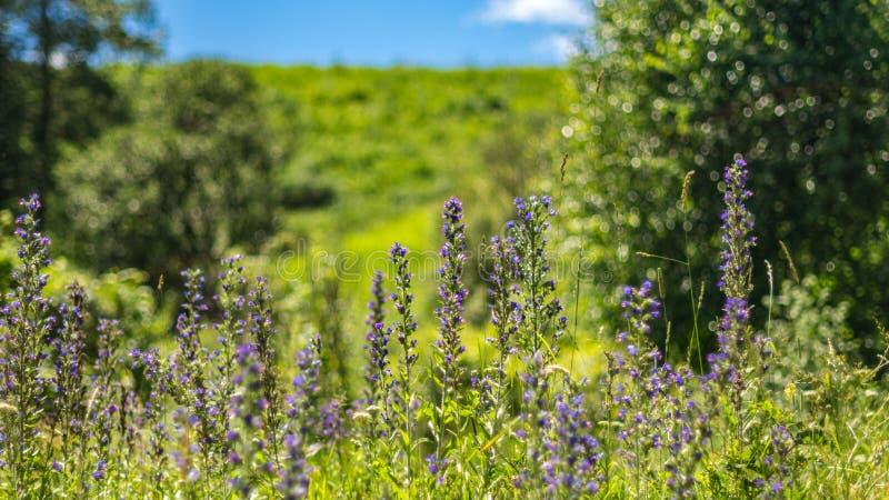 有高草和花的反对被弄脏的山森林背景,阿尔泰山,哈萨克斯坦夏日草甸 库存图片