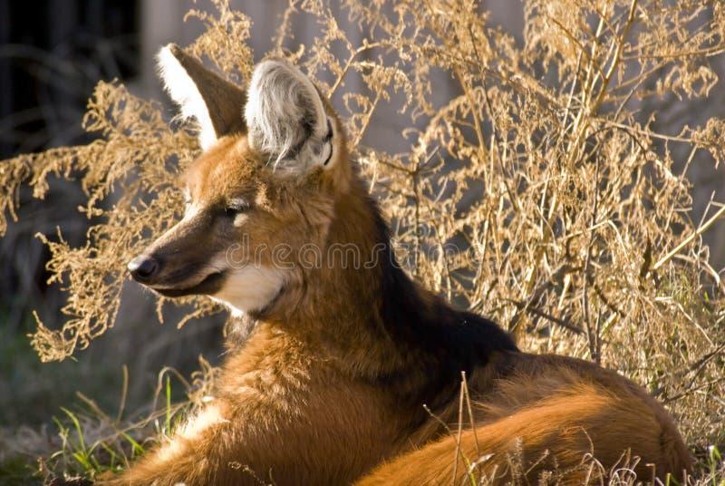 有鬃毛的狐狸 免版税库存照片