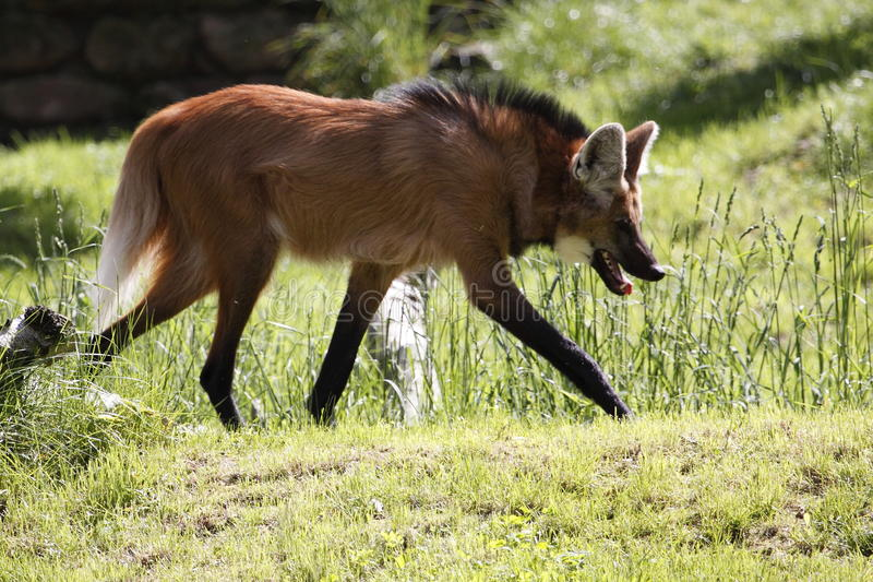 有鬃毛的狼 免版税库存图片