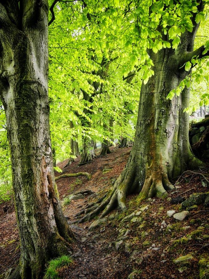 有鲜绿色的嫩绿的春天的古老山毛榉森林离开与与被盖的青苔的高大的树木和根在约克夏英国 免版税库存照片
