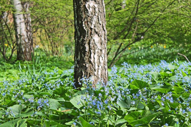 有鲜绿色的草和小蓝色花的一个美丽的草甸和树在一个清楚的春日 免版税库存照片